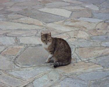 カルタジローネ 猫